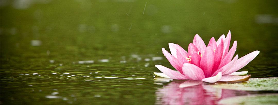 banner-water-lotus2